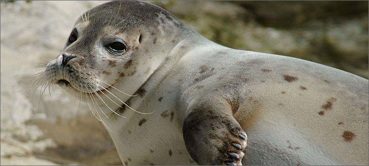 очень-милый-тюлень