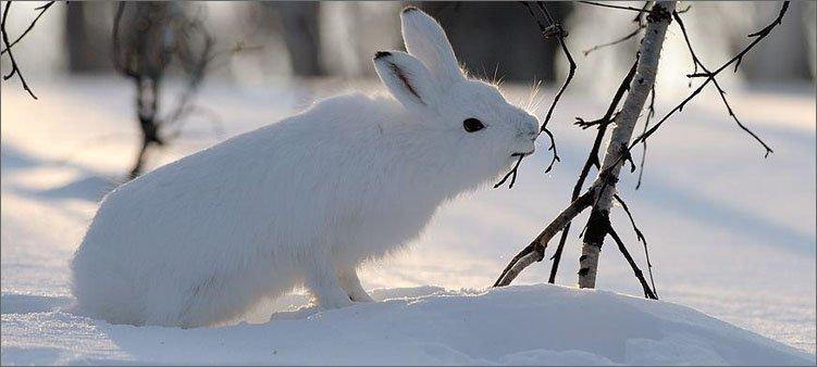 белый-заяц-грызет-веточку