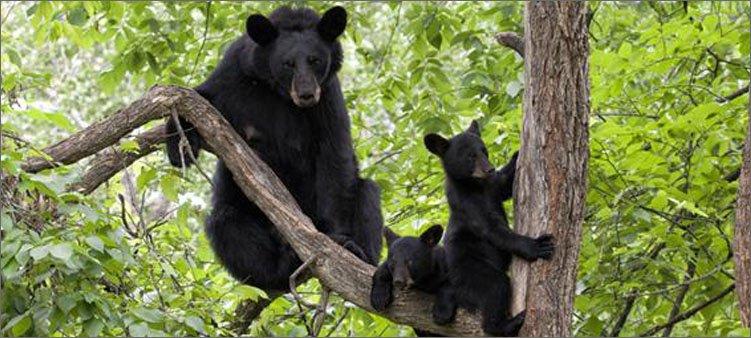 медведи-барибалы-на-дереве