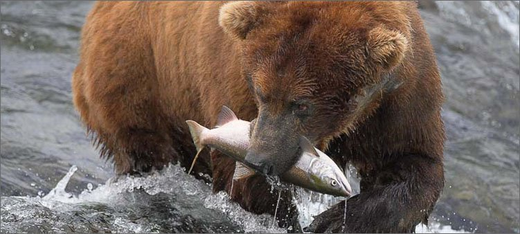 бурый-медведь-поймал-рыбу