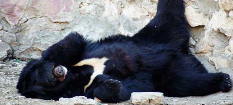 гималайский-медведь-спит