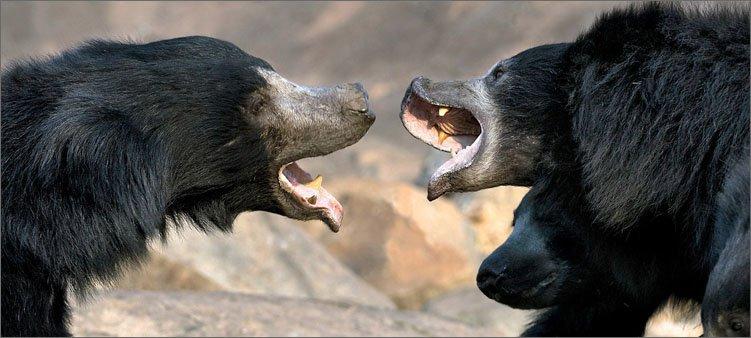 медведи-губачи-кричат