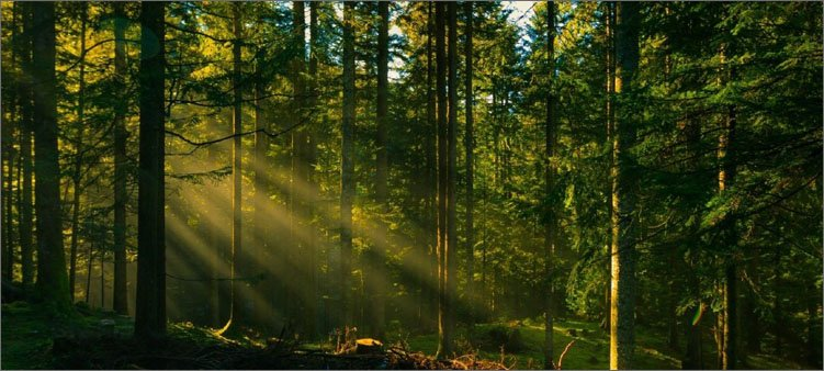 утро-в-хвойном-лесу