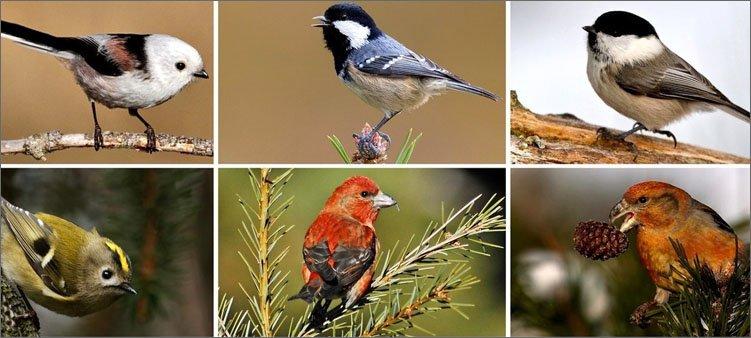 певчие-птички