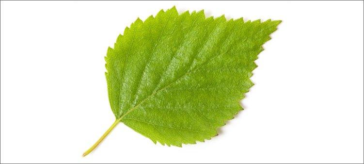 лист-березы