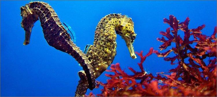 морские-коньки-обнимаются-хвостиками