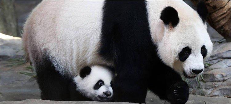 панды-мама-и-детеныш