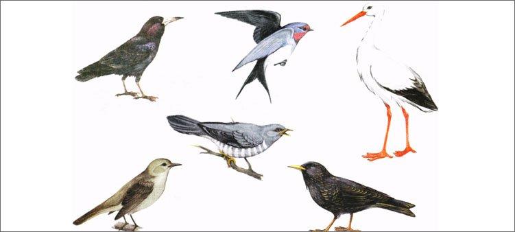 изображения-перелетных-птиц