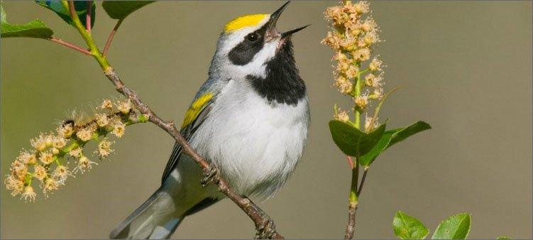 красивая-птичка-поет