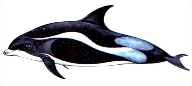 внешний-вид-беломордого-дельфина