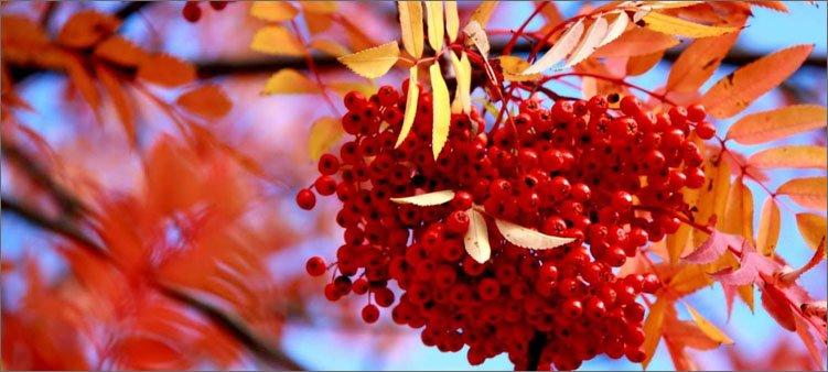 гроздь-рябины