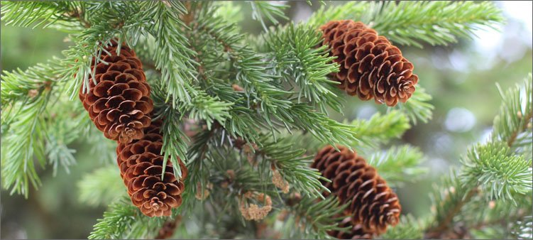шишки-хвойных-деревьев