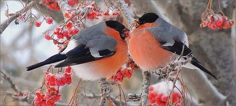 два-снегиря-сидят-на-ветке