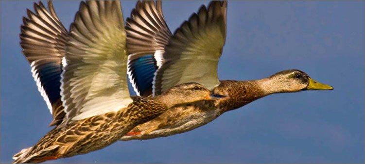 утки-летят