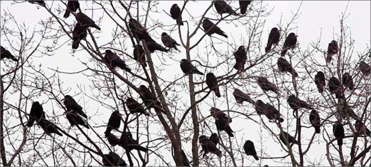 вороны-сидят-на-деревьях