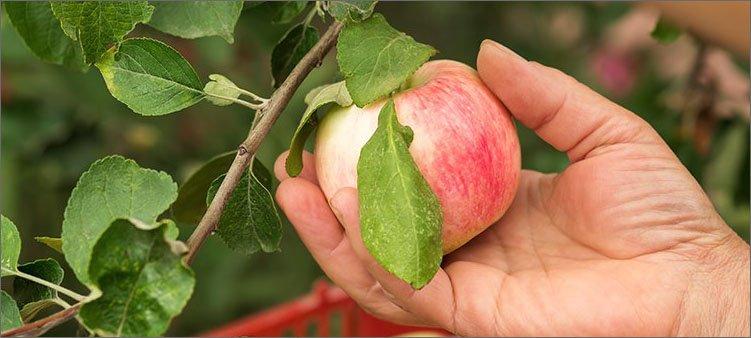 рука-срывает-яблоко-с-ветки