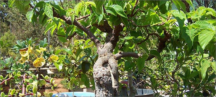 дерево-говения-сладкая