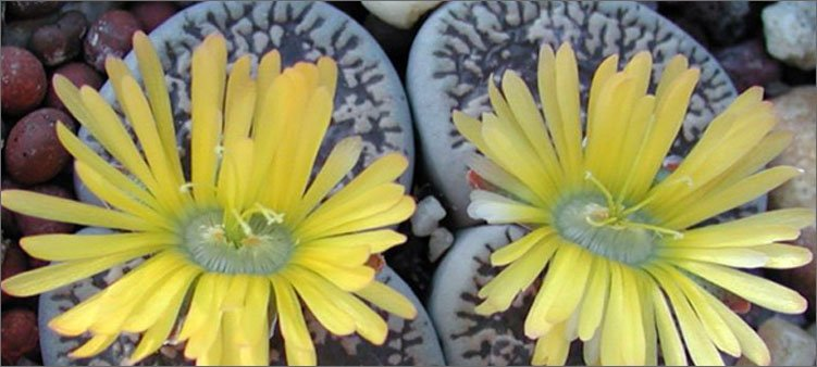 растение-камень-литопс