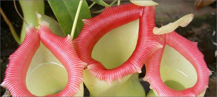 растение-непентес