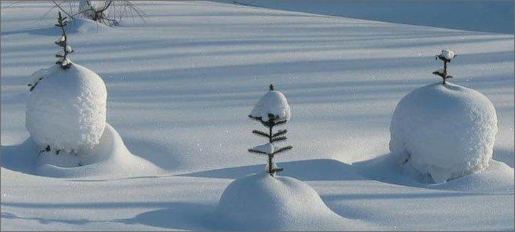 маленькие-елочки-в-снегу
