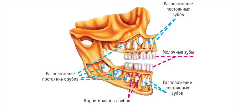 строение-зубов