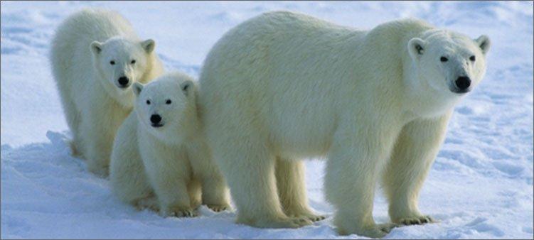 мама-медведица-с-медвежатами