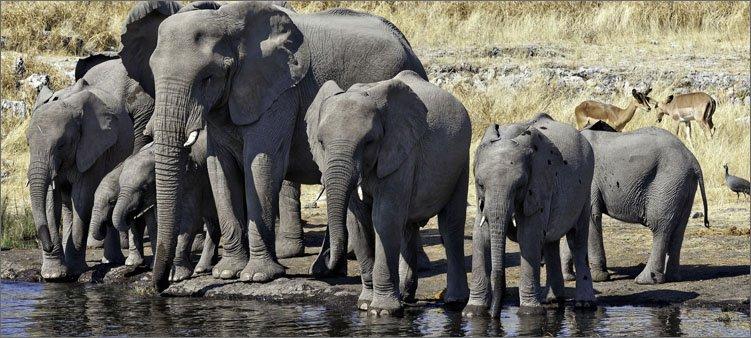 слоны-на-водопое