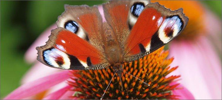 бабочка-ест-нектар