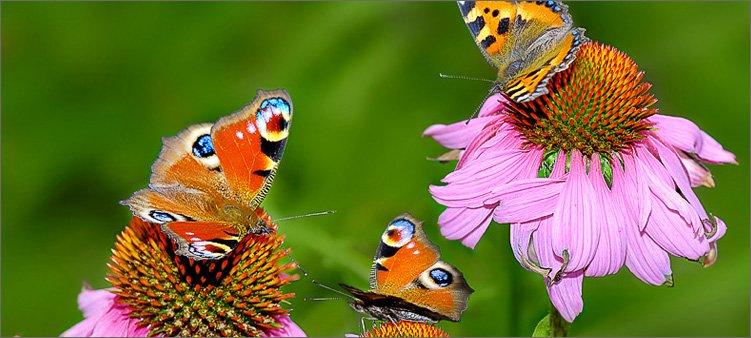 бабочки-на-цветках