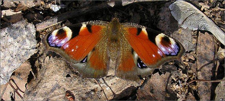 бабочка-зимует-в-листьях