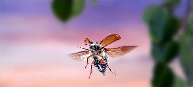 майский-жук-летит