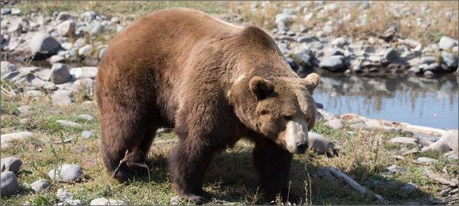 медведь-весной