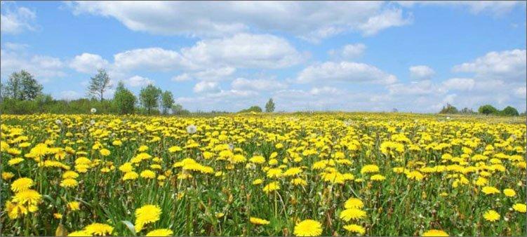 поле-одуванчиков