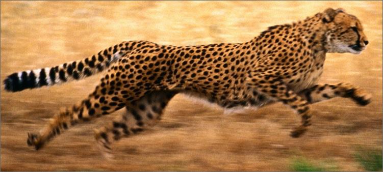 гепард-бежит