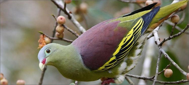 зеленый-голубь