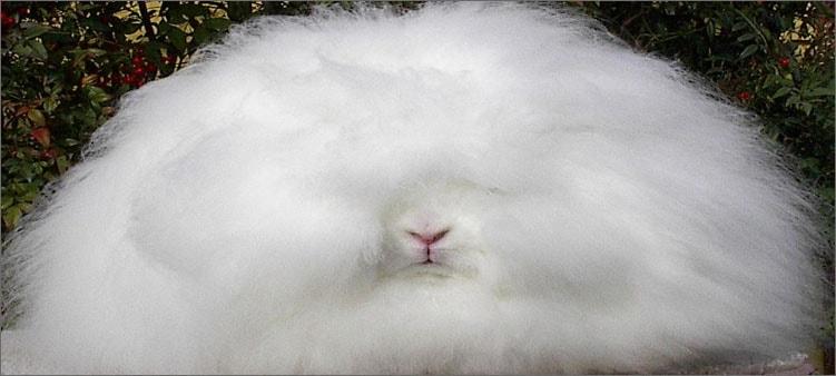 ангарский-кролик