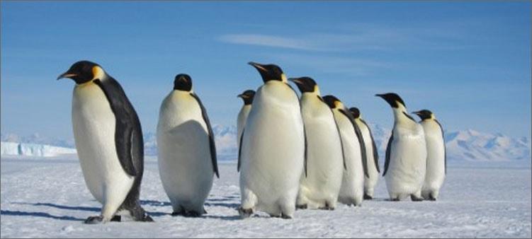 императорские-пингвины