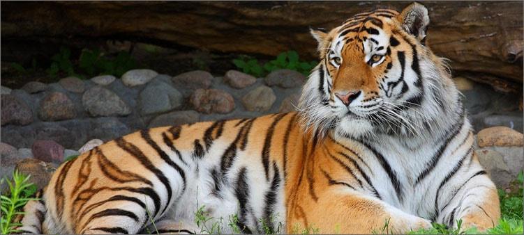 амурский-тигр