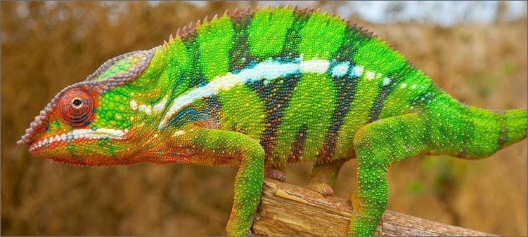 зеленый-хамелеон