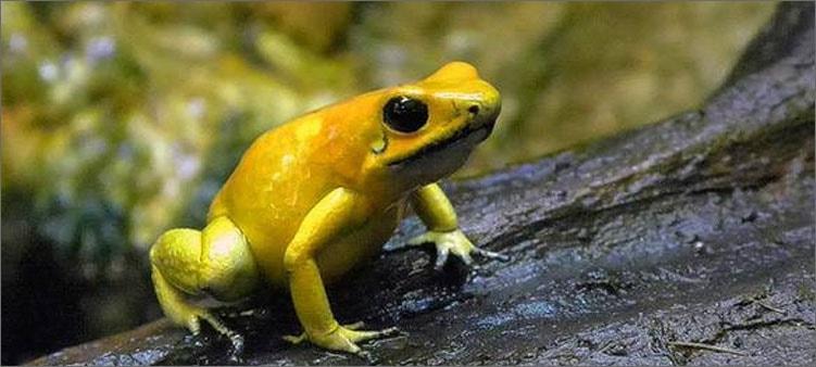 лягушка-листолаз