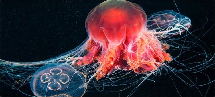 медуза-охотится