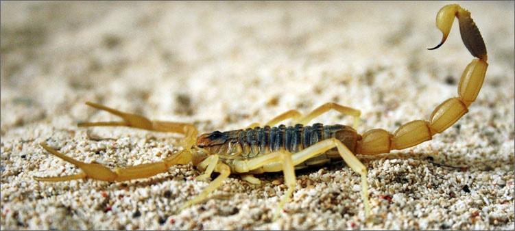 самый-ядовитый-скорпион