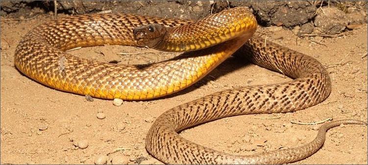 змея-тайпан