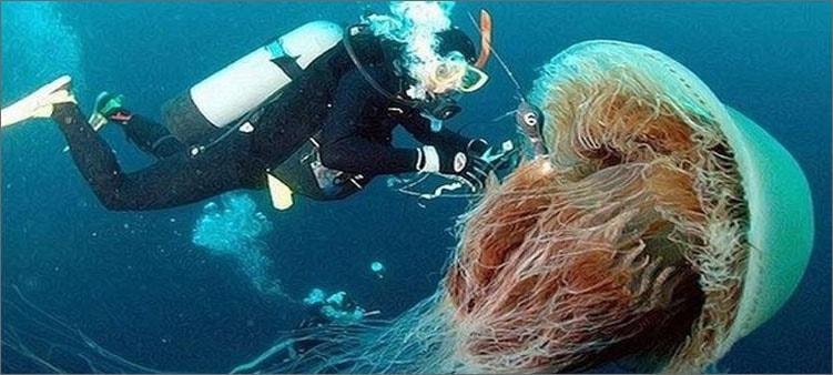 медуза-цианея