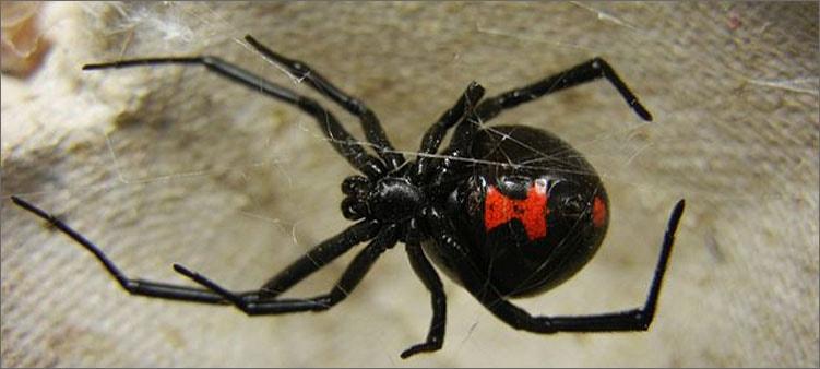 паук-черная-вдова