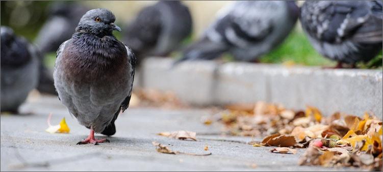 голуби-осенью