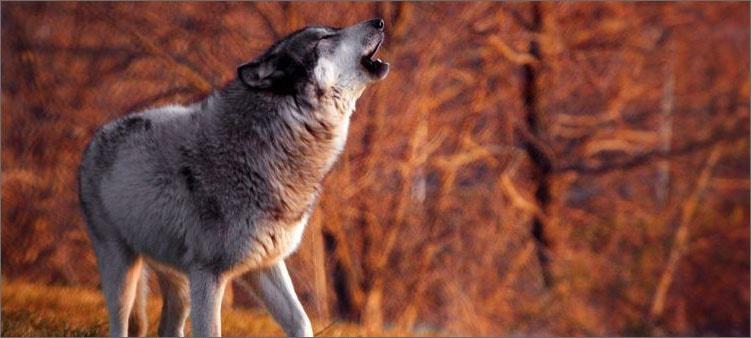 волк-воет