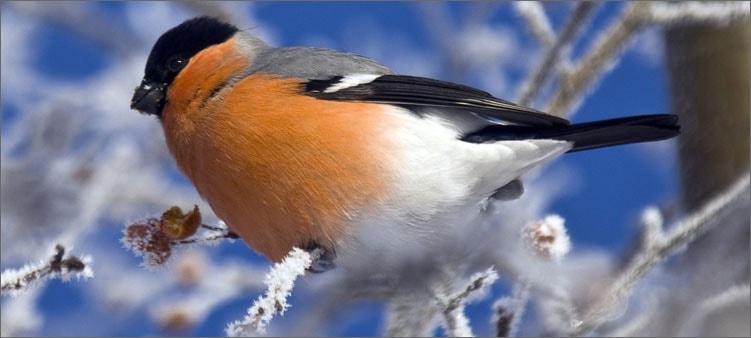 снегирь-на-ветке