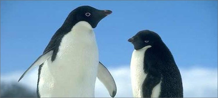 пингвины-адели