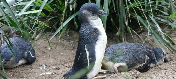 белокрылый-пингвин